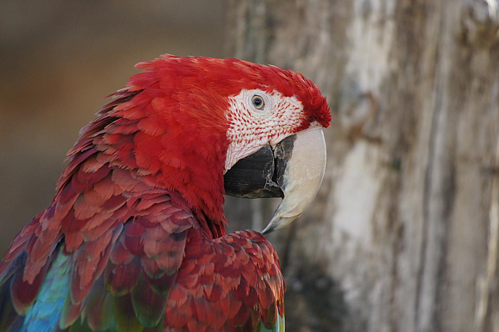 Ara à ailes vertes - Bioparc - 04/08/2020 - Photo: Claire DANGLOS