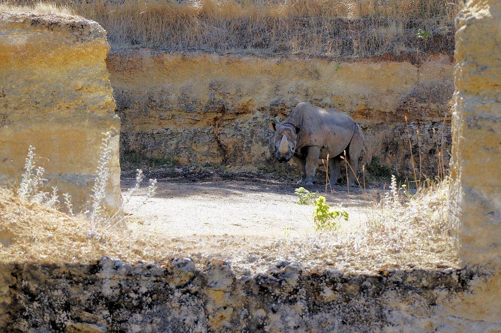 Rhinoceros noir - Bioparc - 04/08/2020 - Photo: Claire DANGLOS